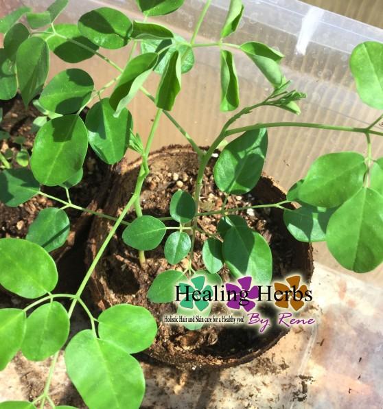 Moringa Tree HHBR